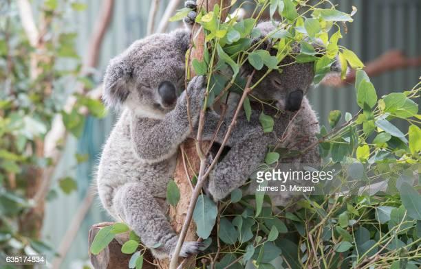 Koala joey's Jarrah and Iluka enjoy a cudlle on their perch at Wild Life Sydney Zoo on February 14 2017 in Sydney Australia The two young Koala's...