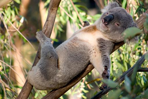 A koala lazing on a branch of an eucalyptus tree 139995447
