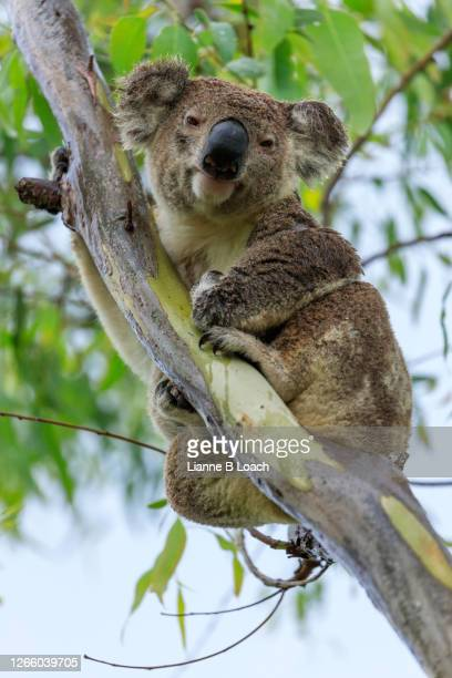 koala looking at camera, sitting in a eucalyptus tree on a rainy day - lianne loach stock pictures, royalty-free photos & images