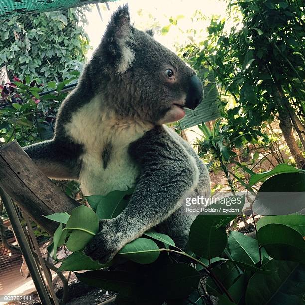 Koala Looking Away In Zoo