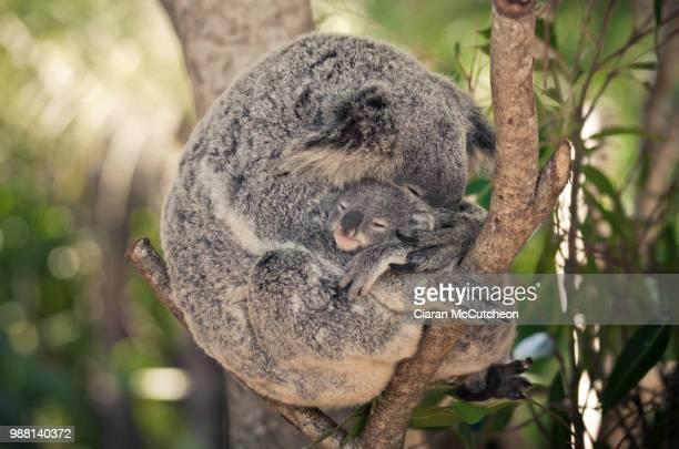 koala love - marsupial imagens e fotografias de stock