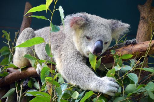 Koala lunch 153500925