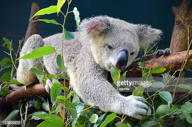 koala lunch - koala stock photos and pictures
