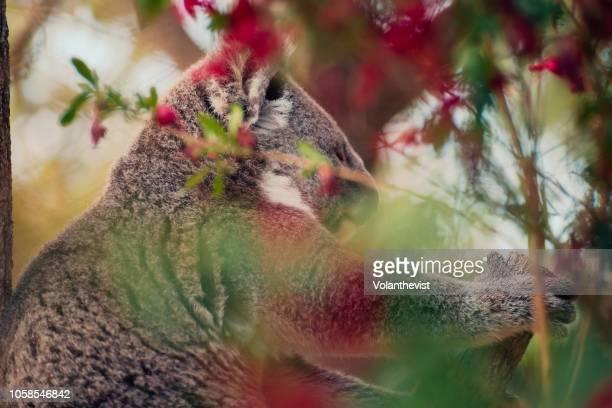 Koala male climbing a tree
