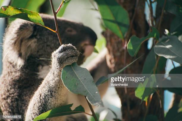 Koala male eating on a eucalyptus tree