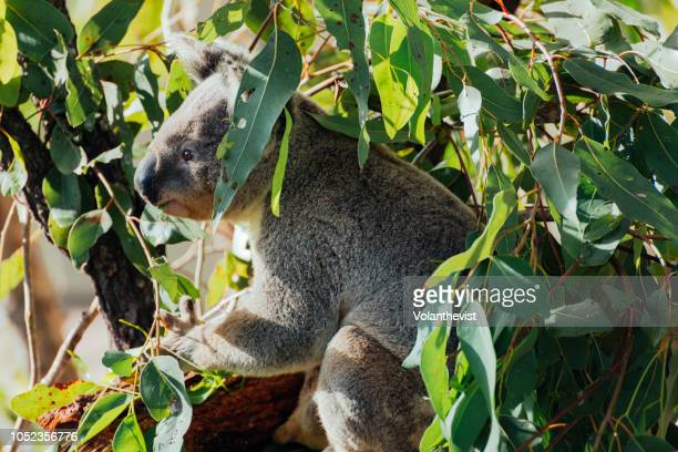 Koala male on a eucalyptus tree