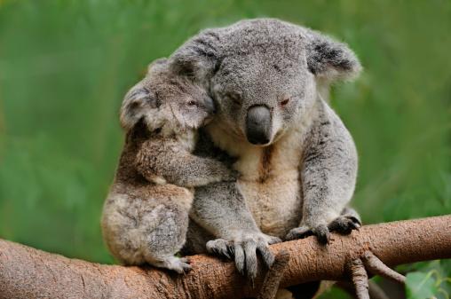 Koala mom 149485056
