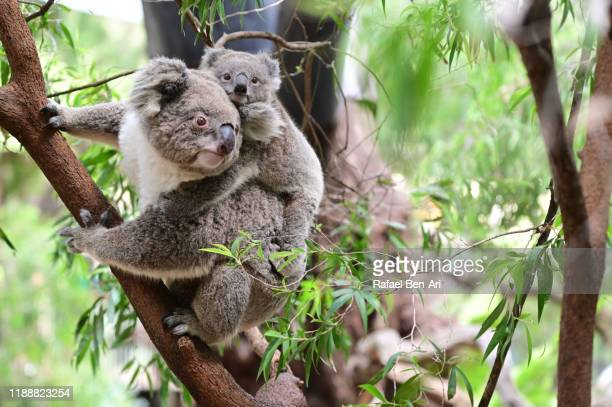 koala mother and koala joey on eucalyptus tree - rafael ben ari stockfoto's en -beelden