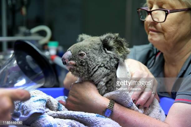 A koala named Frizzle from Taree is treated for burns at The Port Macquarie Koala Hospital on November 29 2019 in Port Macquarie Australia Volunteers...