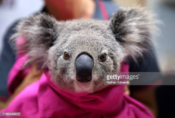 A koala named Lisa from Pappinbarra recovers from burns at The Port Macquarie Koala Hospital on November 29 2019 in Port Macquarie Australia...