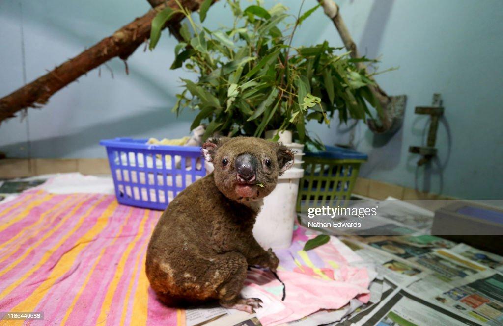 Koala Hospital Works To Save Injured Animals Following Bushfires Across Eastern Australia : News Photo