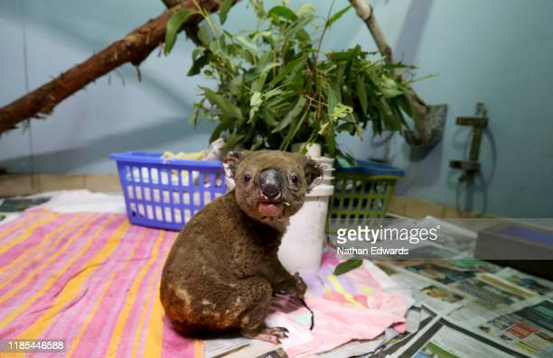 A koala named Paul from Lake Innes Nature Reserve recovers from his burns in the ICU at The Port Macquarie Koala Hospital on November 29 2019 in Port...