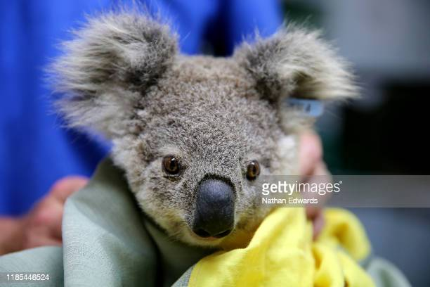 A koala named Pete from Pappinbarra at The Port Macquarie Koala Hospital on November 29 2019 in Port Macquarie Australia Volunteers from the Koala...