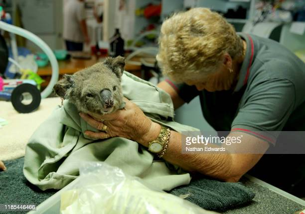A koala named Sharni from Crowdy Bay National Park is treated at The Port Macquarie Koala Hospital on November 29 2019 in Port Macquarie Australia...