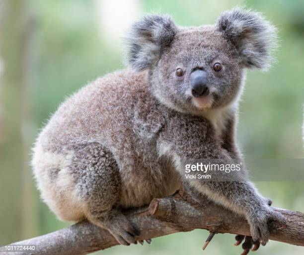 koala on a tree branch - koala stock photos and pictures