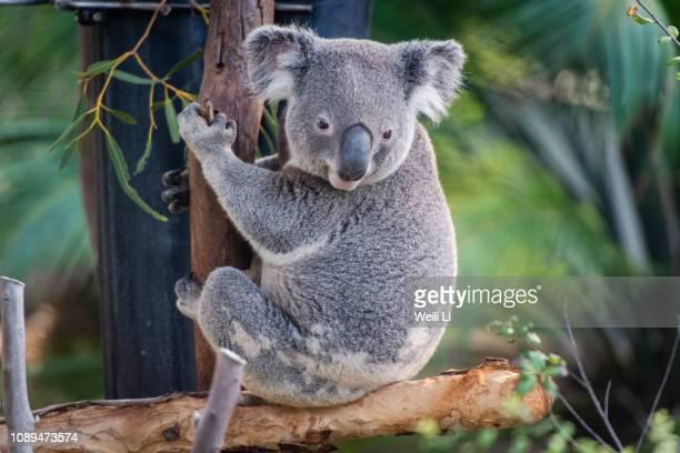 koala on a tree - koala photos et images de collection