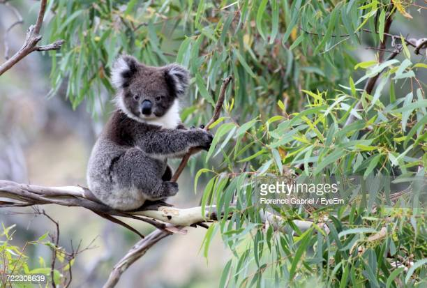 koala on branch in australia - koala stock photos and pictures