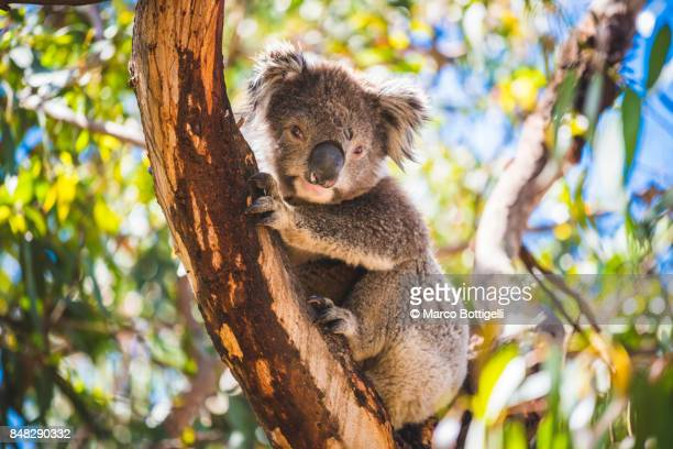 koala on eucalyptus tree, australia. - koala stock photos and pictures