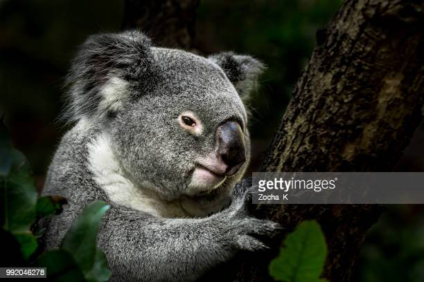 koala on eucalyptus tree - koala stock photos and pictures