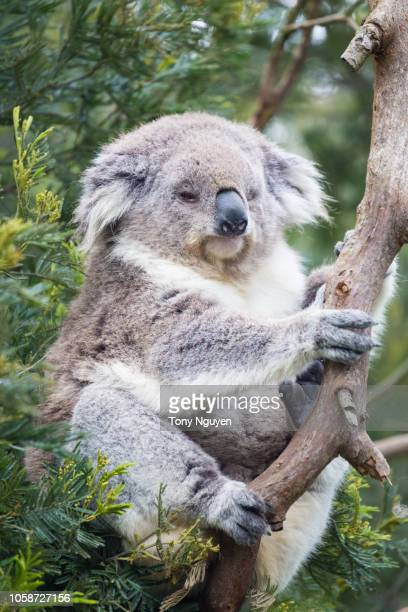 Koala on his tree in Australia. They spend around 20-22hours a day for sleeping.