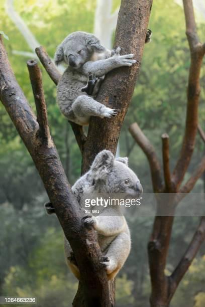 koala on the tree - koala stock pictures, royalty-free photos & images
