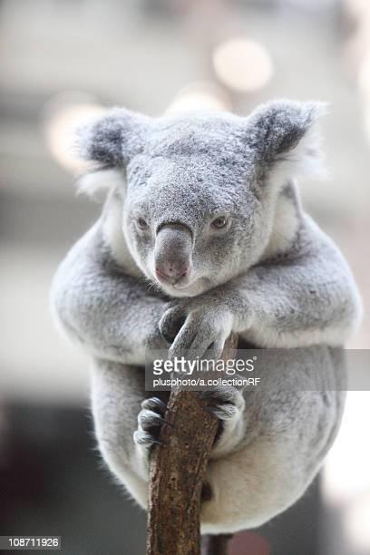 koala on tree at tama zoo, tokyo prefecture, honshu, japan - plusphoto stock pictures, royalty-free photos & images