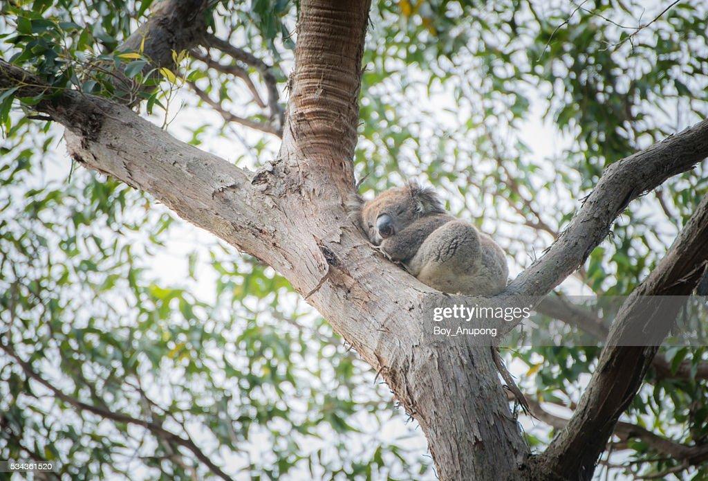 Koala One Of The Symbol Of Australia Stock Photo Getty Images