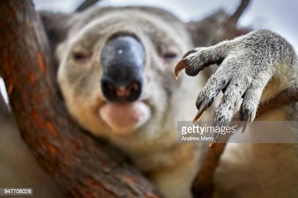 koala paw and sharp claws of wild, male koala in eucalyptus tree, magnetic island - eucalyptus tree stock pictures, royalty-free photos & images