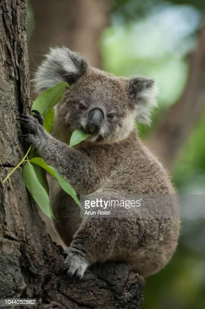 koala - phascolarctos cinereus on the tree in australia, eating, climbing on eucaluptus. - linda rama fotografías e imágenes de stock