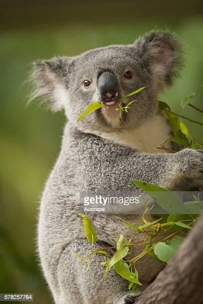 Koala Phascolarctos cinereus with food in its mouth Sunshine Coast Queensland Australia