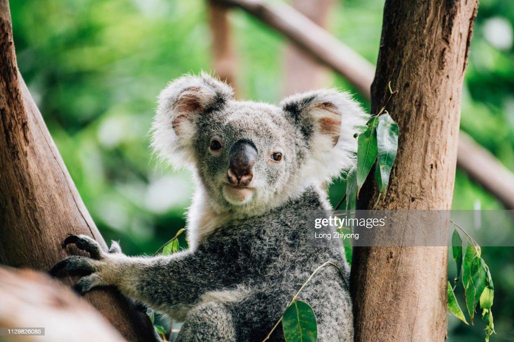 koala : Stock Photo