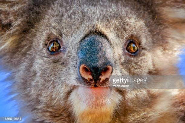 koala (phascolarctos cinereus) - koala stock pictures, royalty-free photos & images