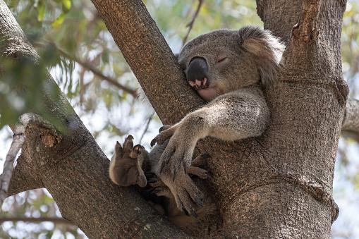 Koala 1187030767