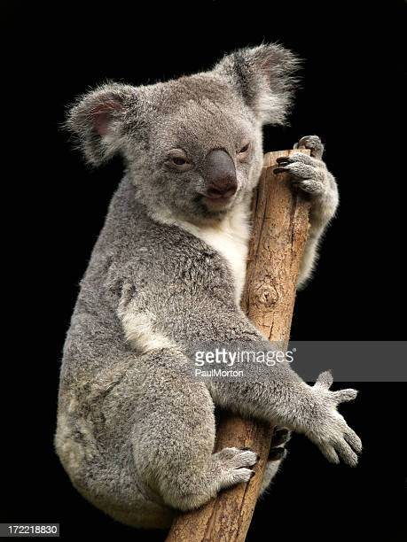 koala - koala stock photos and pictures