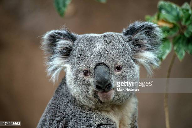 koala - animal head stock pictures, royalty-free photos & images