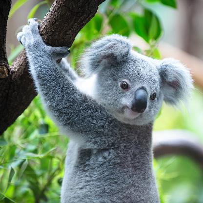 Koala 472187027