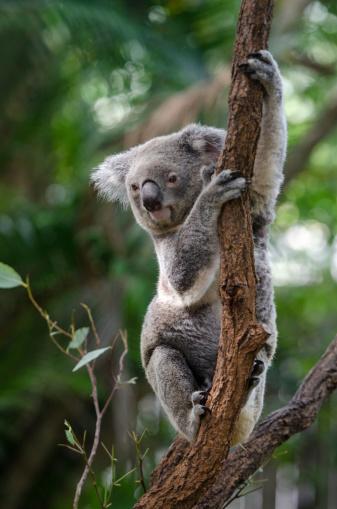 Koala 487554123