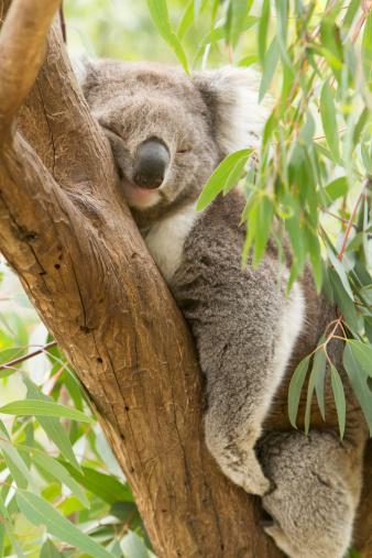 Koala 491451239