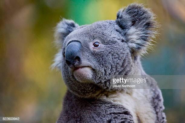 koala - marsupial stock pictures, royalty-free photos & images