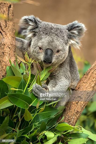 koala - koala stock pictures, royalty-free photos & images