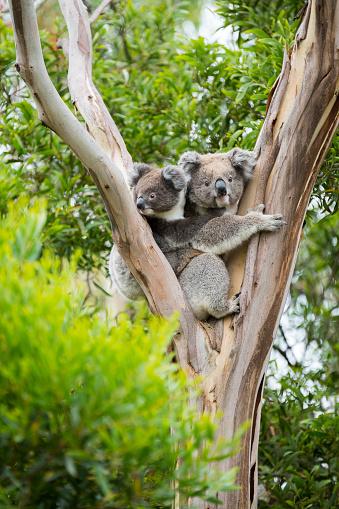 Koala 636575150