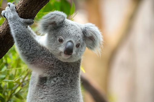 Koala 652385142