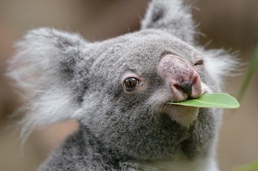 koala 669726104