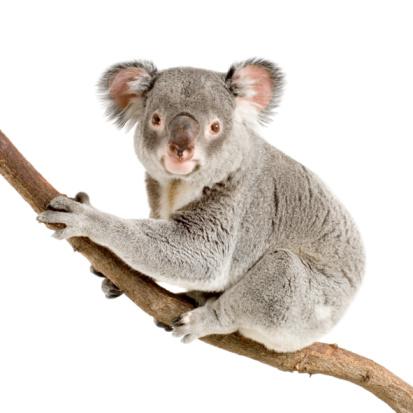 Koala 93210041