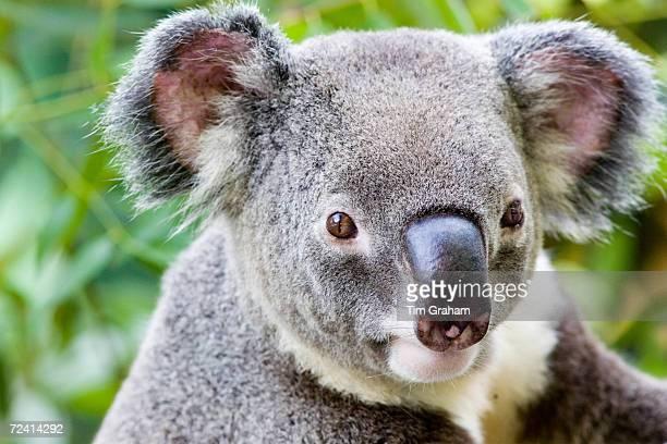 Koala Queensland Australia