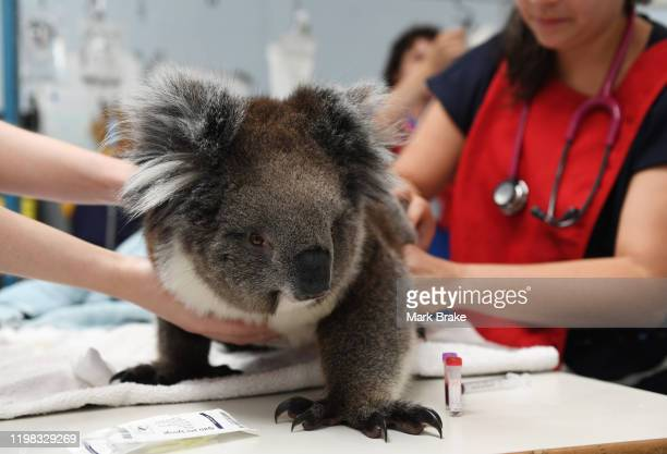 A koala receives treatment from a vet at Adelaide Koala Rescue on January 08 2020 in Adelaide Australia There are grave fears for the future of the...