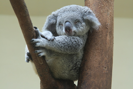 koala resting and sleeping on his tree 530674261