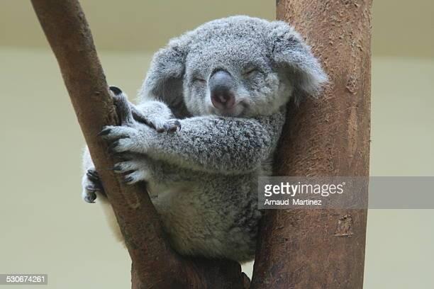 koala resting and sleeping on his tree with an happy smile on his face