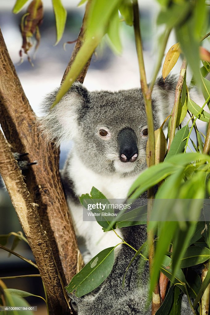 Koala (Phascolarctos Cinereous) resting in tree : Stockfoto
