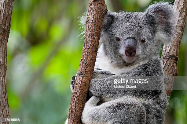 koala resting in trees - michael siward stock pictures, royalty-free photos & images